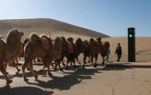 骆驼红绿灯亮相敦煌月牙泉景区