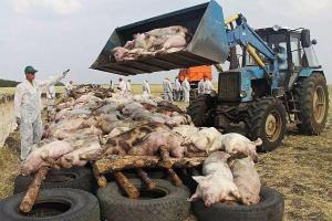 菲律宾因非洲猪瘟疫情进入全国灾难状态