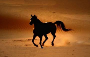 为何阿拉伯人的首选战马不是阿拉伯马?只因战场不是赛马场