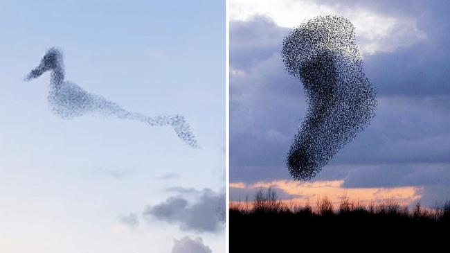 有趣!英国一群椋鸟在天空中变化出鸭子的形状