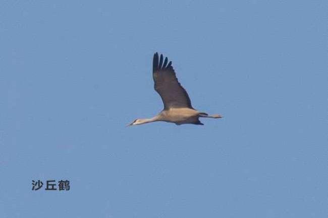 国内罕见!8年前造访北京后再无记录,这种鸟又回来了