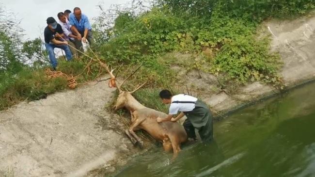 麋鹿觅食不慎被困鱼塘 路过市民及时报警成功解救