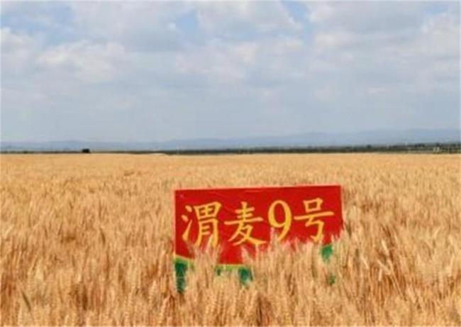 """""""渭麦9号""""小麦新品种通过国家品种审定"""