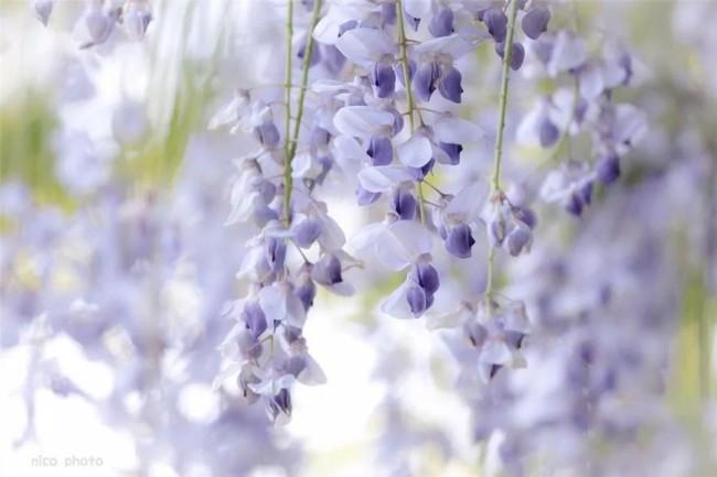 紫藤花开,香风留美人!