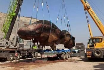 渤海海域首次发现搁浅抹香鲸